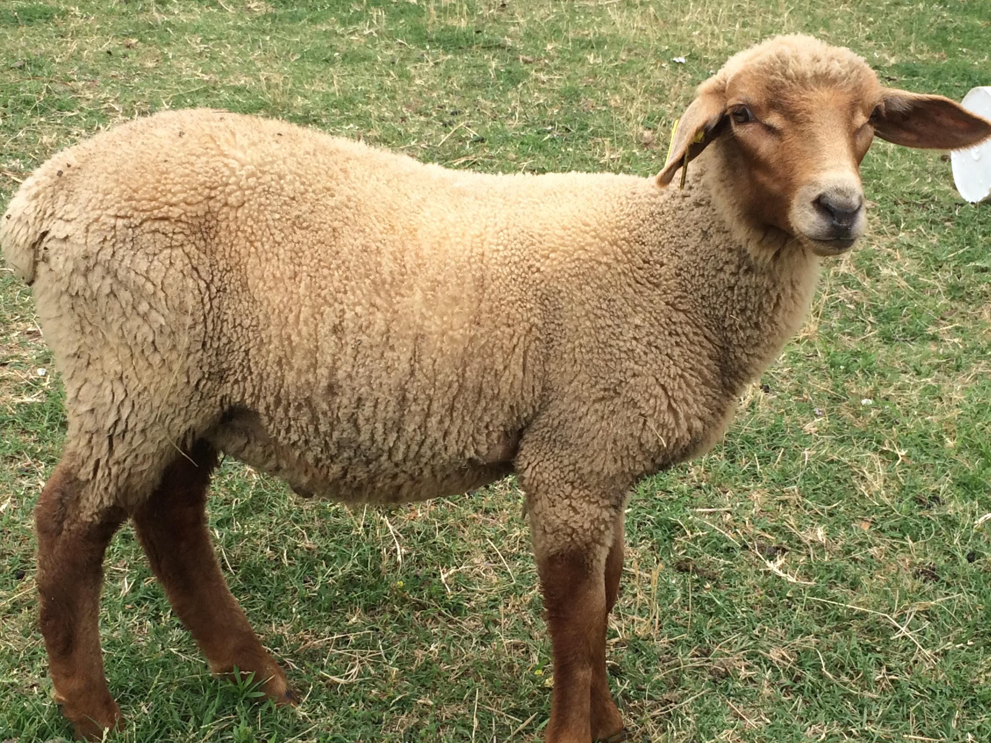 A tunis sheep